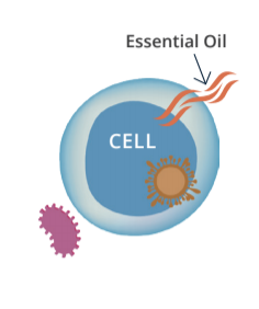 Essential oils and the cell